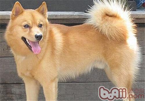 芬兰猎犬的品种简介-狗狗品种